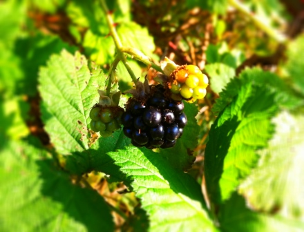 Getting to that sweet, juicy blackberry is worth every scratch