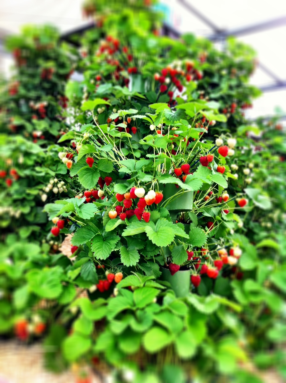 noodle garden loved – really grown stacked I Another display into and strawberries